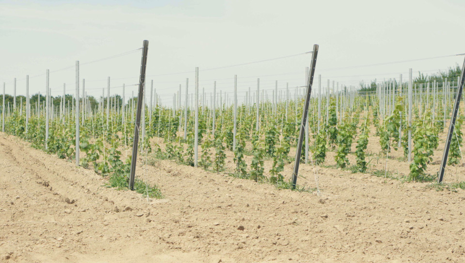 Krakowiany winnica